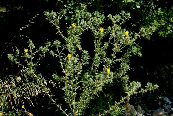 Carthamus lanatus subsp. lanatus 4