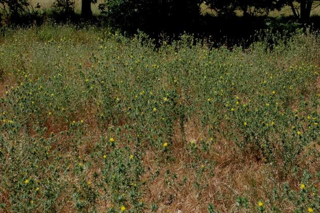 Carthamus lanatus subsp. lanatus 5