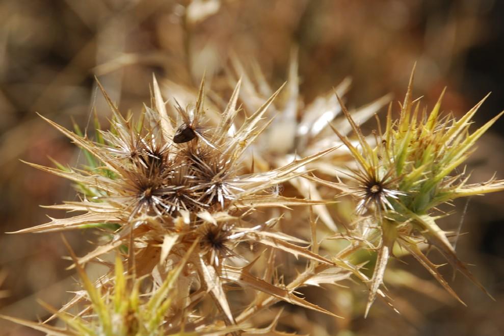 Carthamus lanatus subsp. lanatus 6