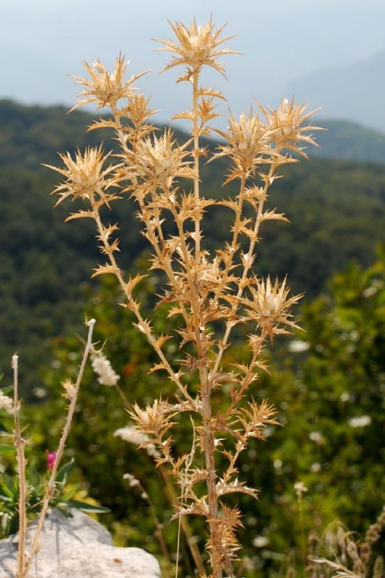 Carthamus lanatus subsp. lanatus 7