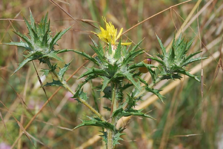 Carthamus lanatus subsp. lanatus 8