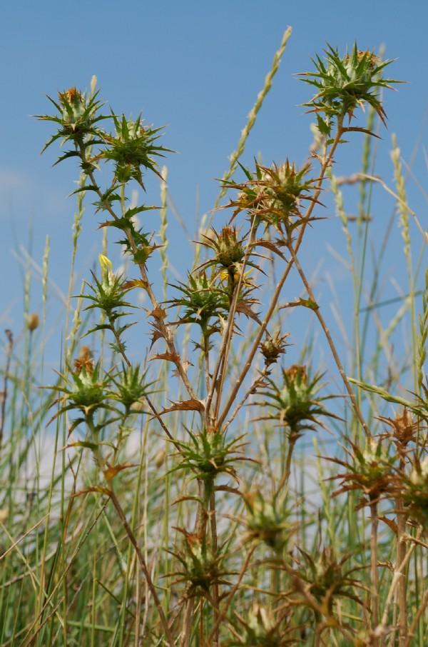 Carthamus lanatus subsp. lanatus 9