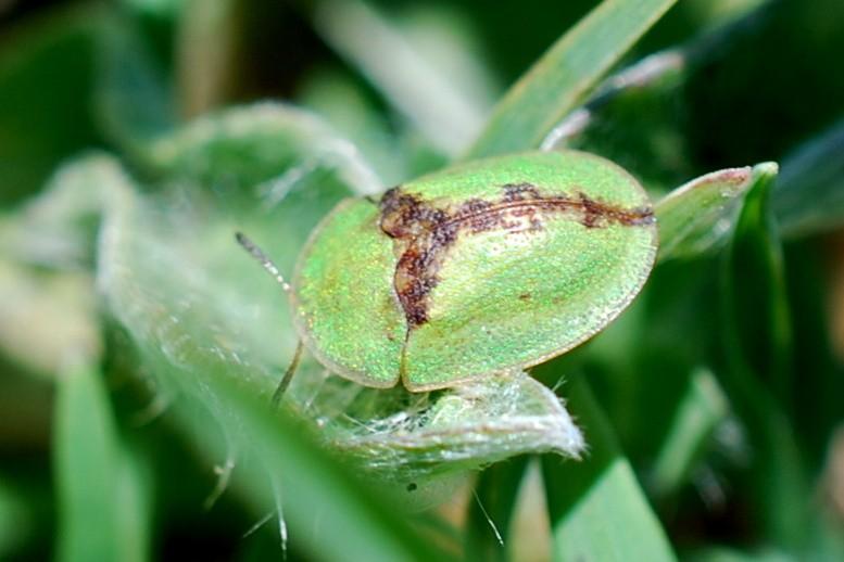 Cassida sp. - Crysomelidae