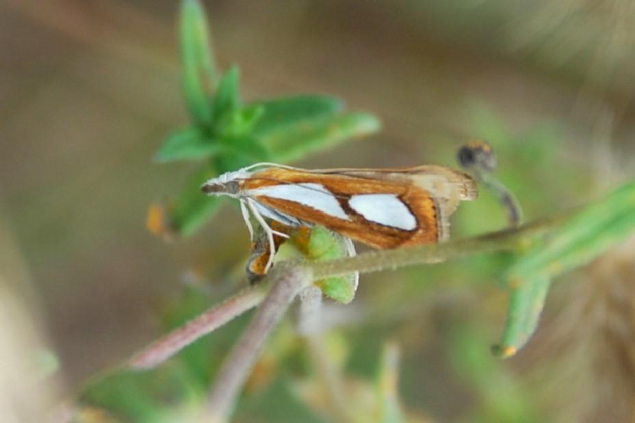 Catoptria pinella - Crambidae