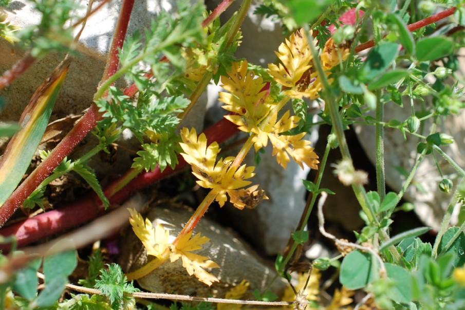 Caucalis plathycarpos subsp. plathycarpos 10
