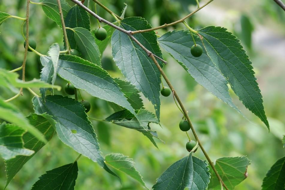 Celtis australis 7