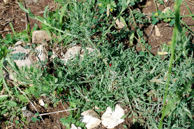 Centaurea ambigua s.l. 14
