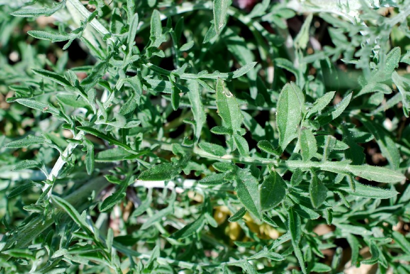 Centaurea ambigua s.l. 15