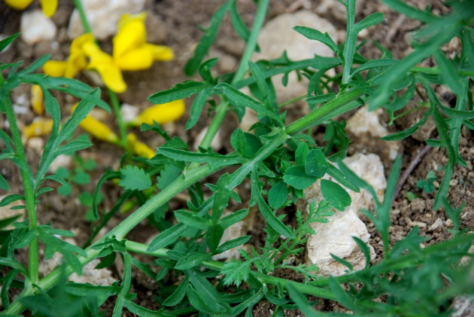 Centaurea ambigua s.l. 4
