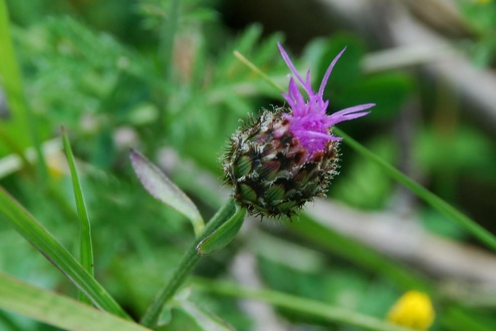 Centaurea ambigua s.l. 9