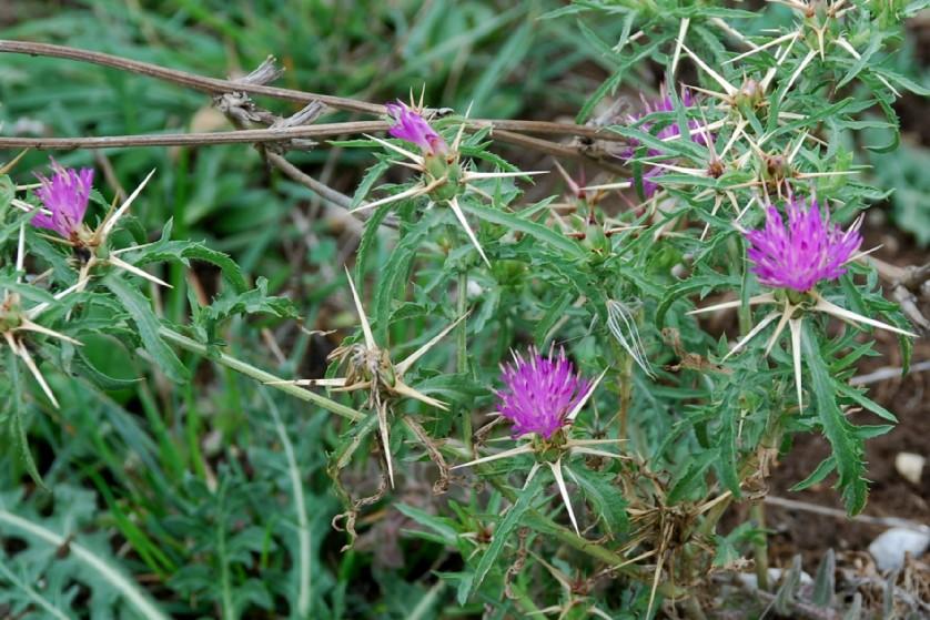 Centaurea calcitrapa 15