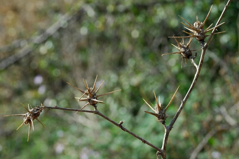 Centaurea calcitrapa 4