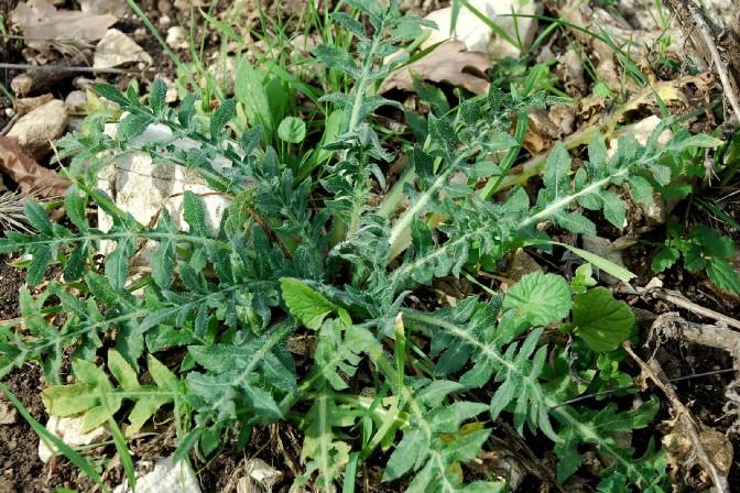 Centaurea calcitrapa 5