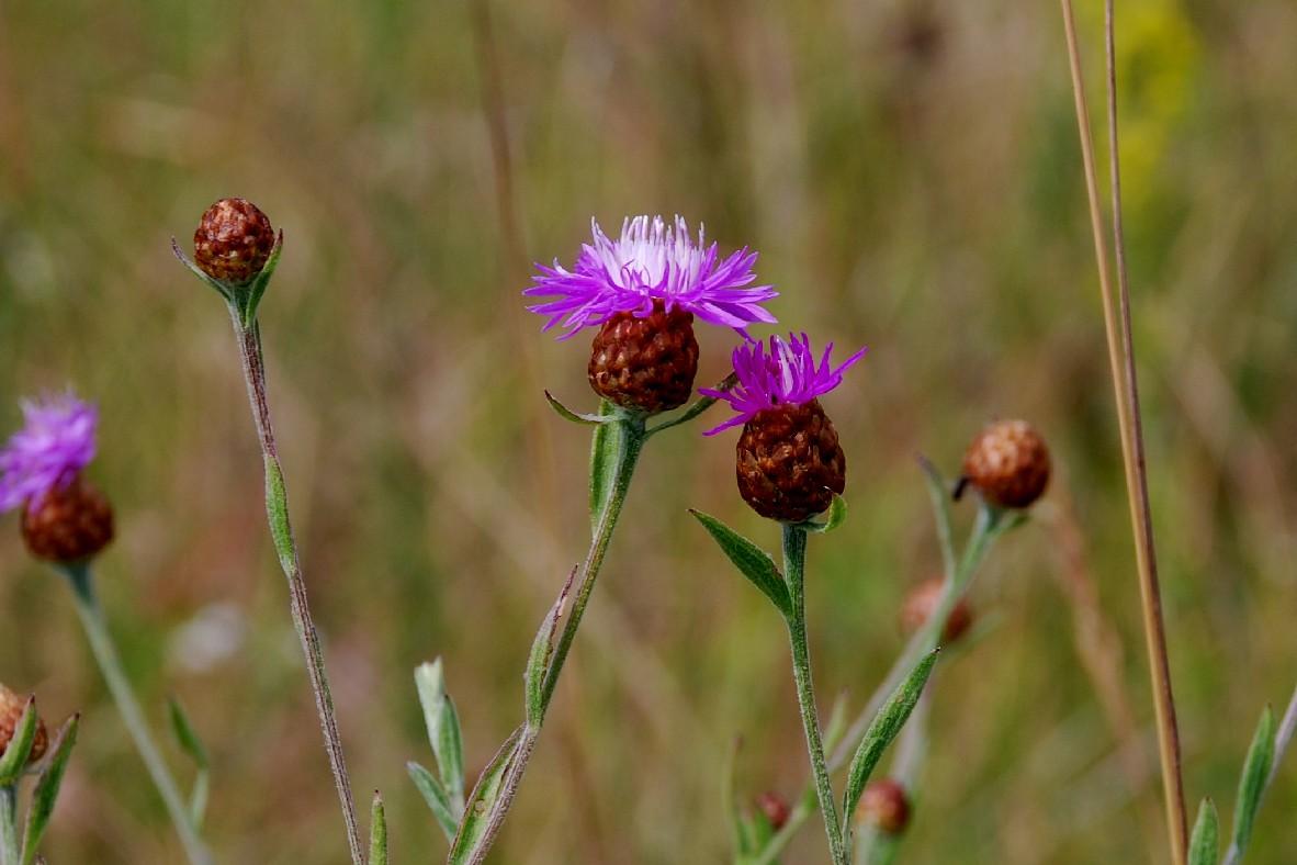 Centaurea jacea 2