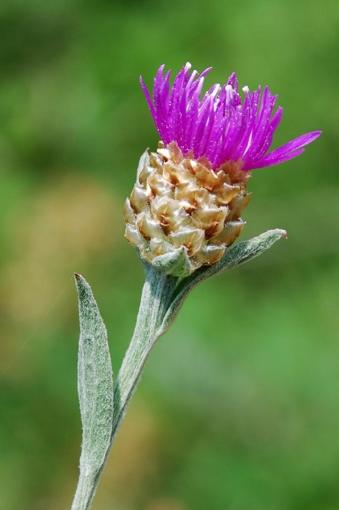 Centaurea jacea 4