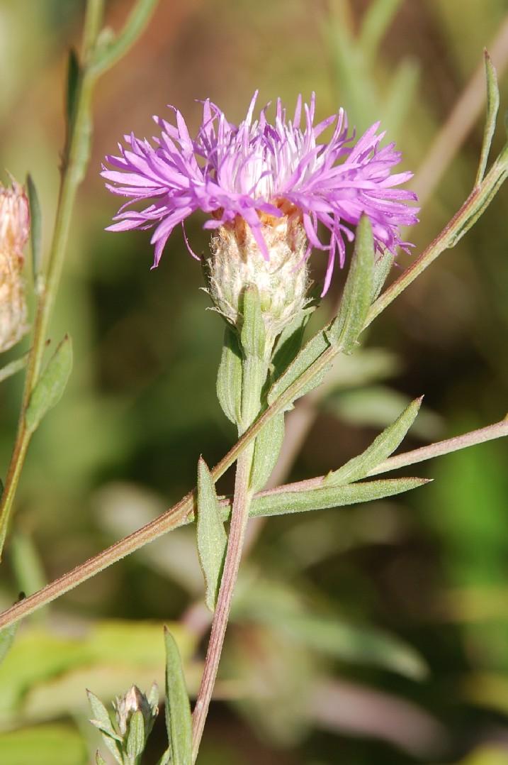 Centaurea pratensis 12