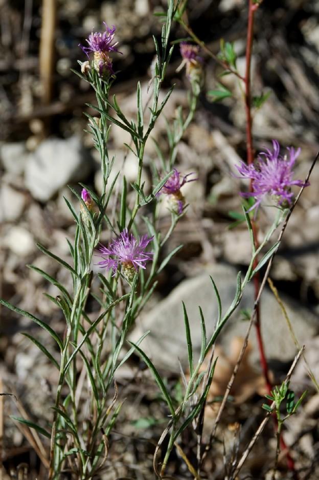 Centaurea pratensis 14