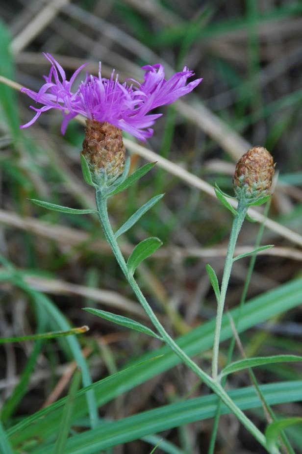 Centaurea pratensis 3