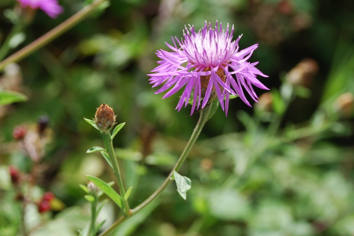 Centaurea pratensis 7