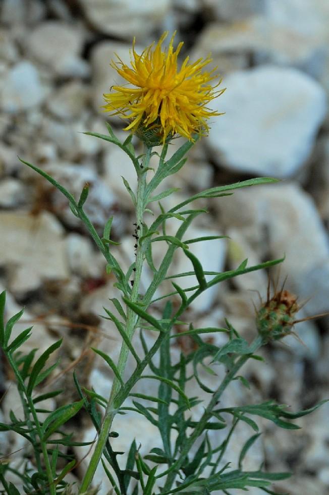 Centaurea rupestris subsp. ceratophylla