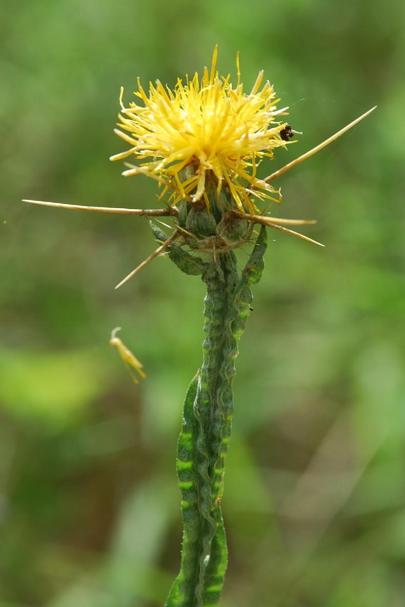 Centaurea solstitialis subsp. solstitialis 11