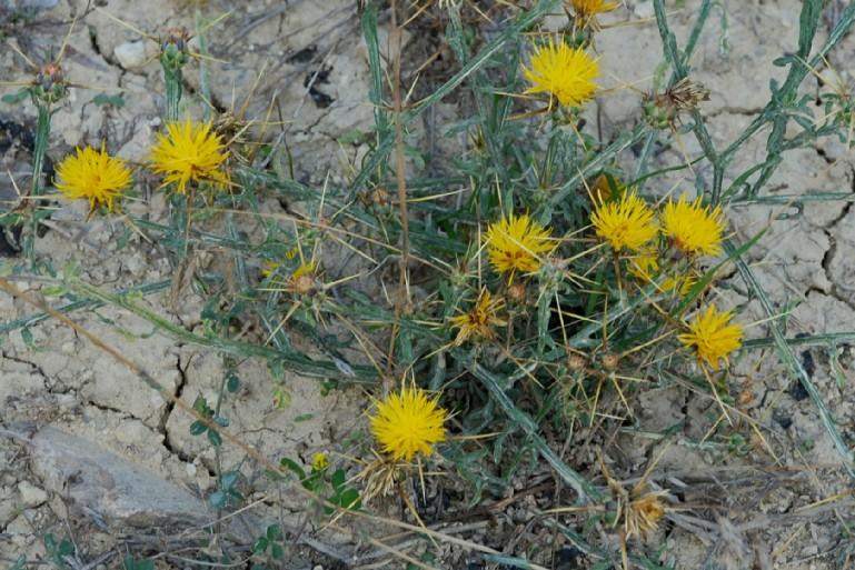 Centaurea solstitialis subsp. solstitialis 16