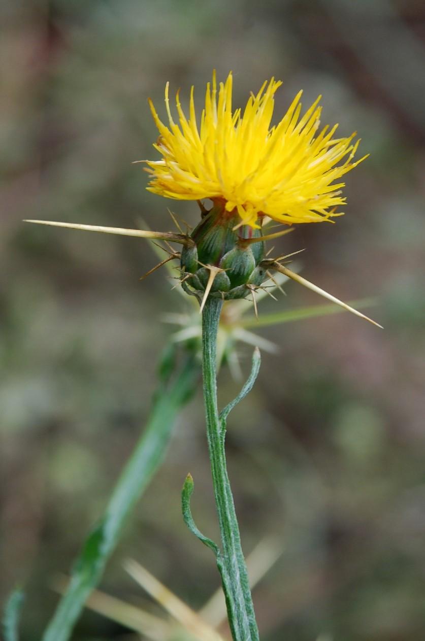 Centaurea solstitialis subsp. solstitialis 18