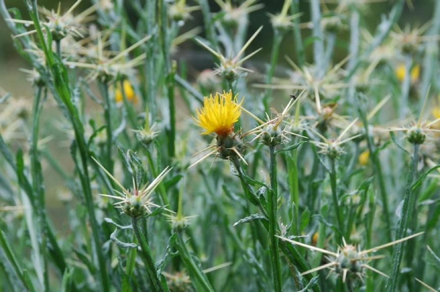 Centaurea solstitialis subsp. solstitialis 19