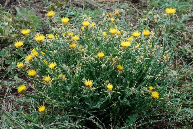 Centaurea solstitialis subsp. solstitialis 20