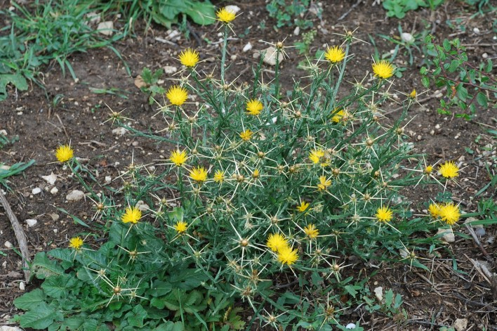 Centaurea solstitialis subsp. solstitialis 21