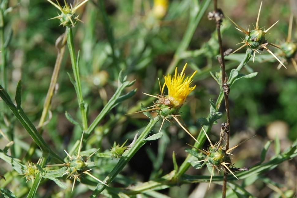 Centaurea solstitialis subsp. solstitialis 23