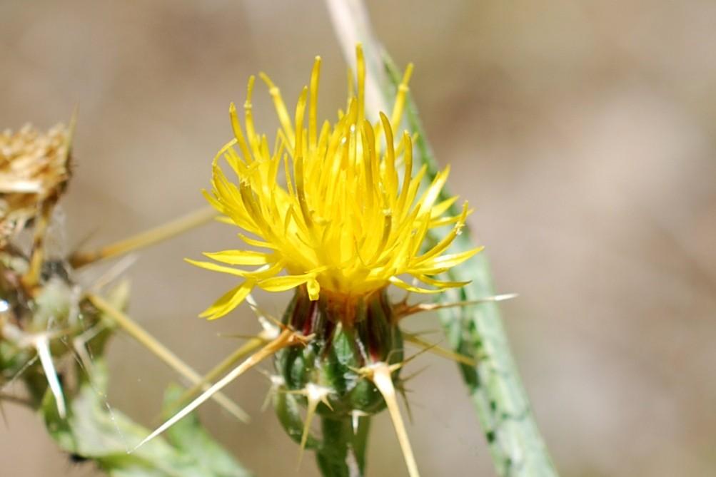 Centaurea solstitialis subsp. solstitialis 25