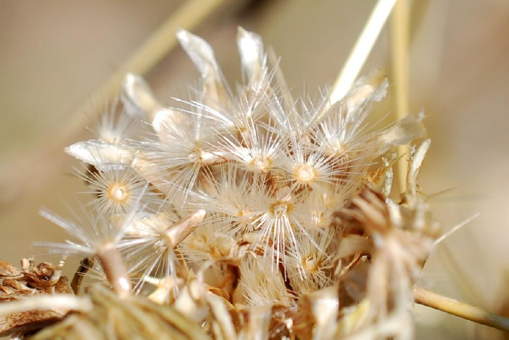 Centaurea solstitialis subsp. solstitialis 26