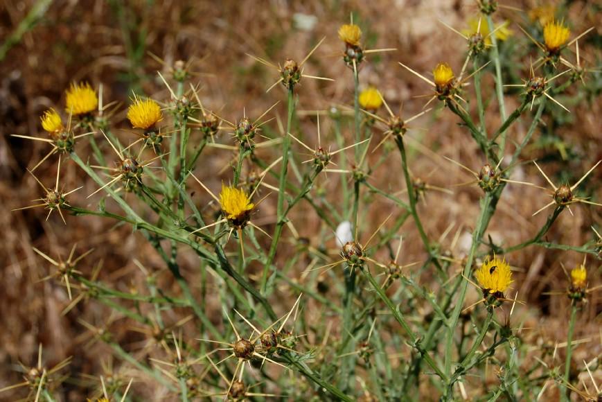 Centaurea solstitialis subsp. solstitialis 4