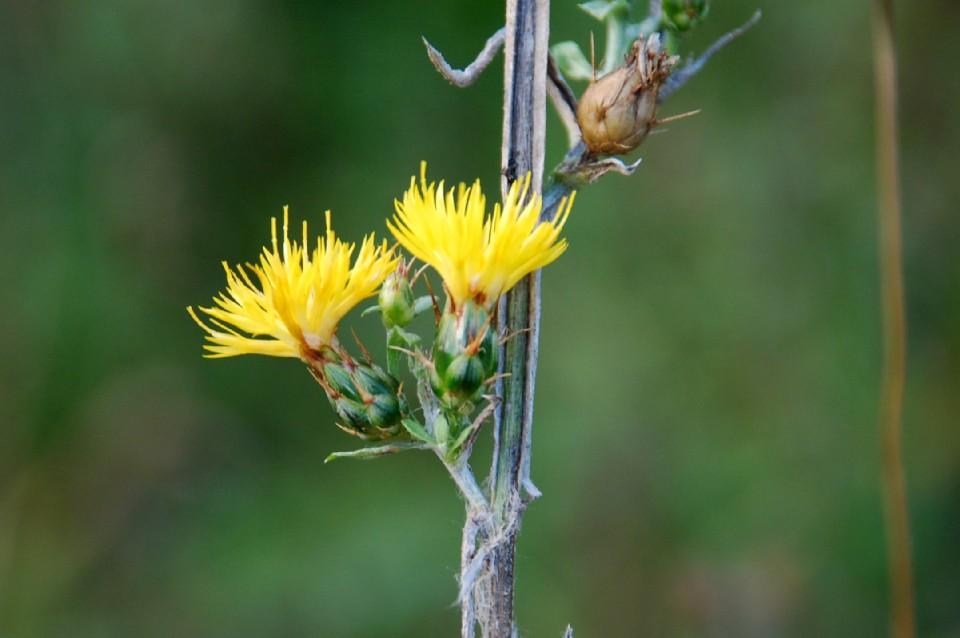 Centaurea solstitialis subsp. solstitialis 5
