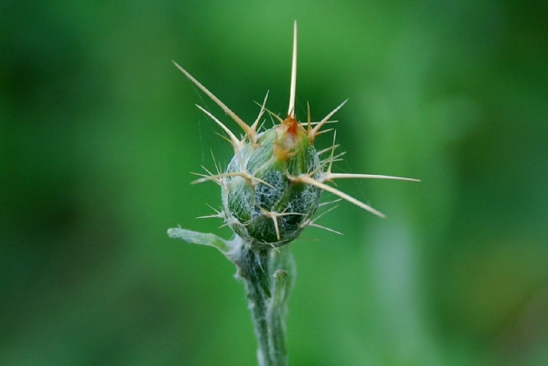 Centaurea solstitialis subsp. solstitialis 7