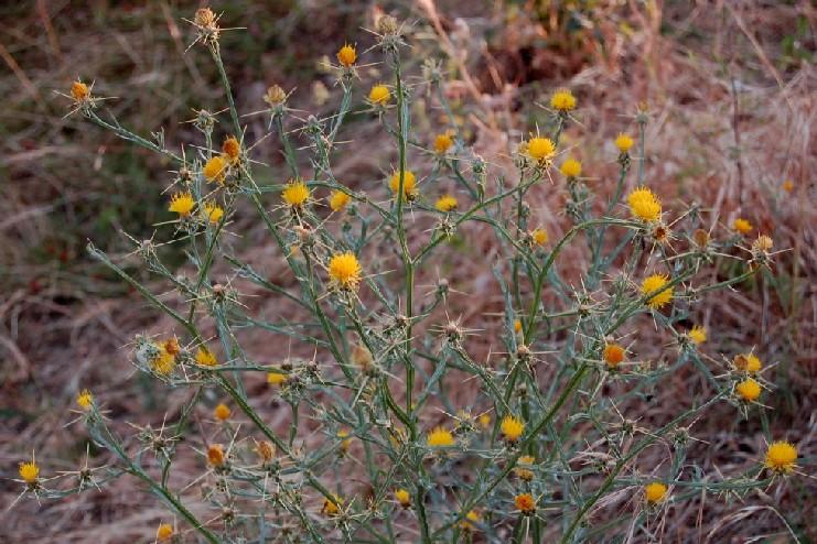 Centaurea solstititialis subsp. solstitialis