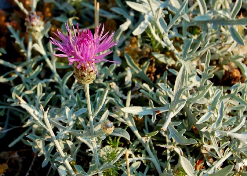 Centaurea tenoreana