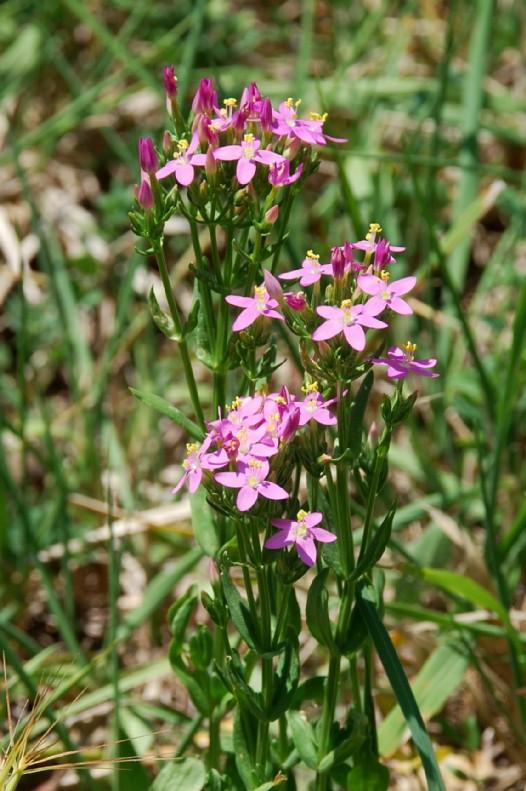 Centaurium erythraea subsp. erythraea 11