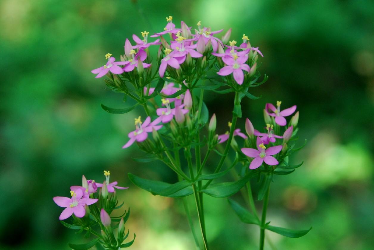 Centaurium erythraea subsp. erythraea 16