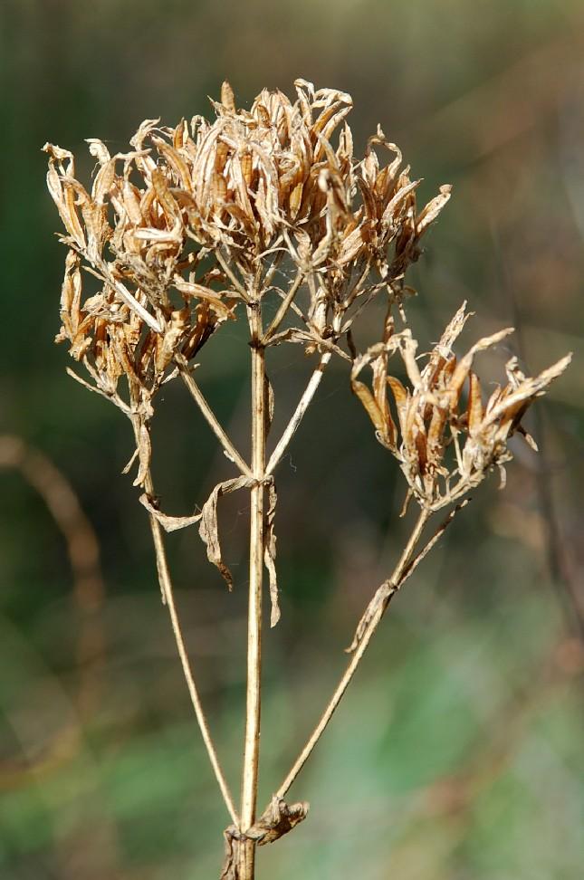 Centaurium erythraea subsp. erythraea 4