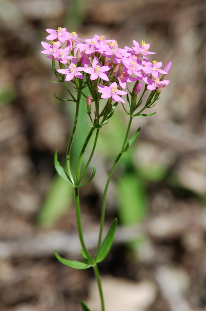 Centaurium erythraea subsp. erythraea 8