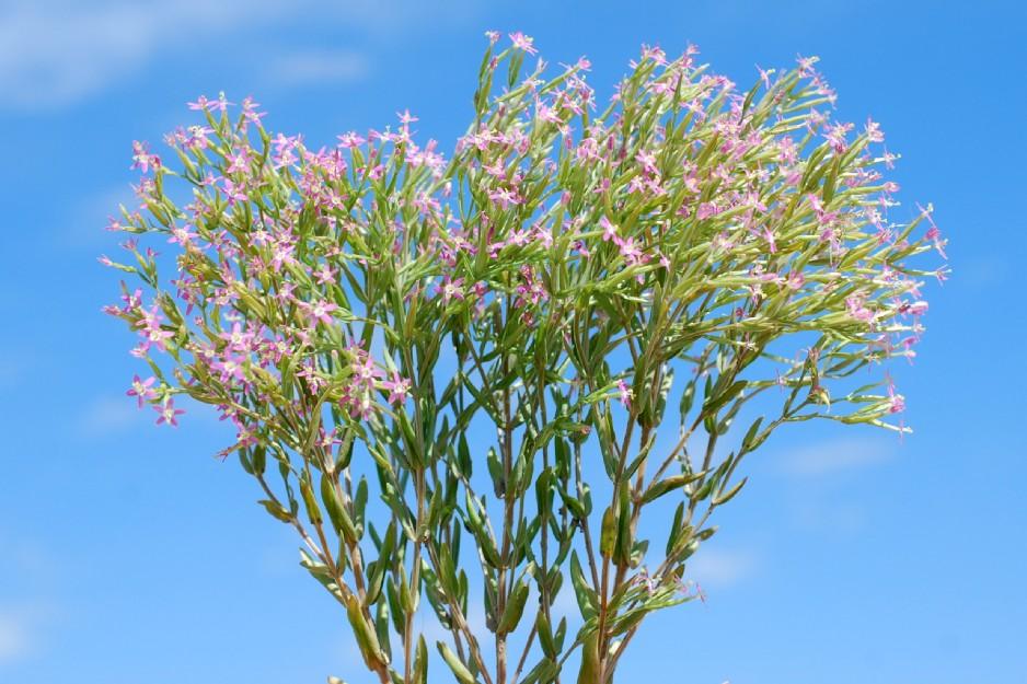Centaurium pulchellum 11