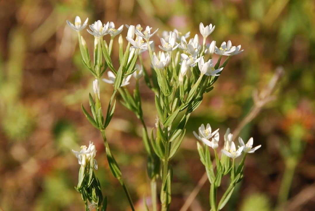 Centaurium tenuiflorum subsp. acutiflorum 10