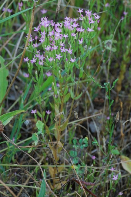 Centaurium tenuiflorum subsp. acutiflorum 15