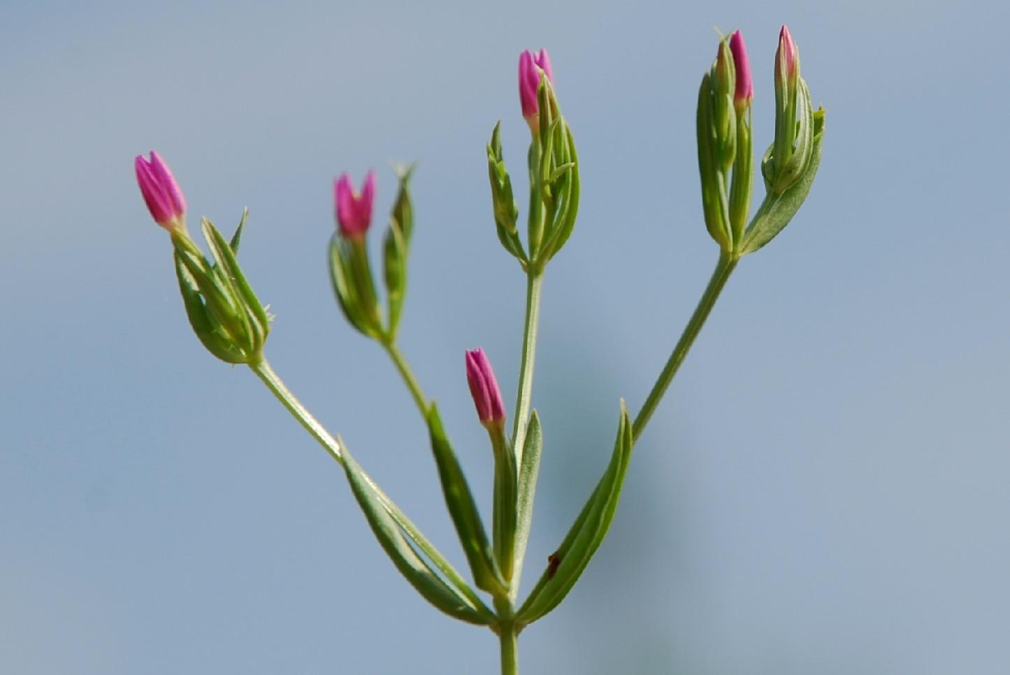Centaurium tenuiflorum subsp. acutiflorum 4
