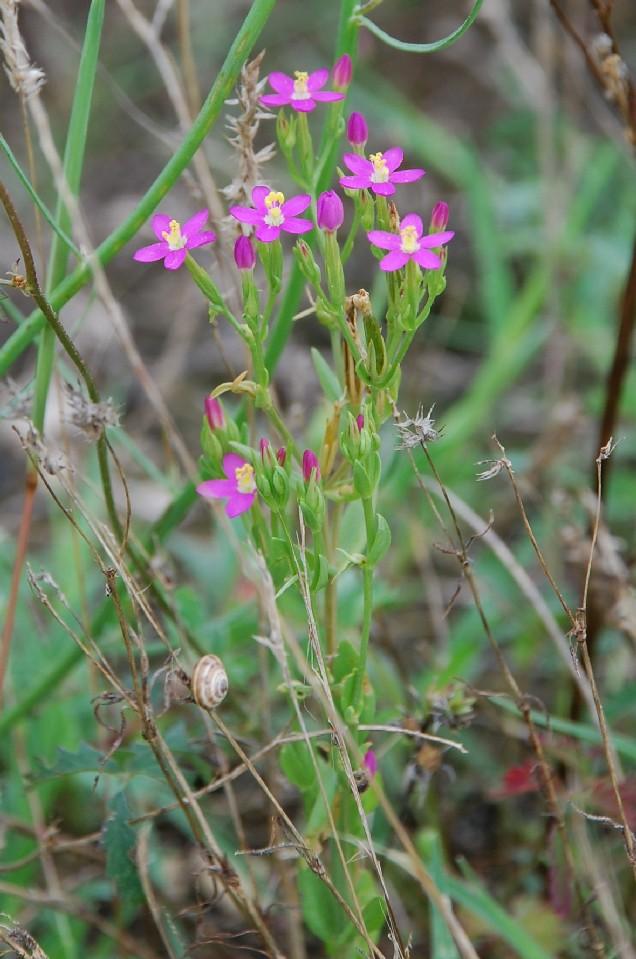 Centaurium tenuiflorum subsp. acutiflorum 7