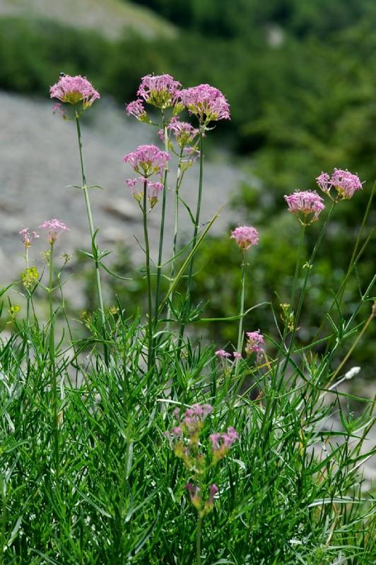 Centranthus angustifolius subsp. angustifolius