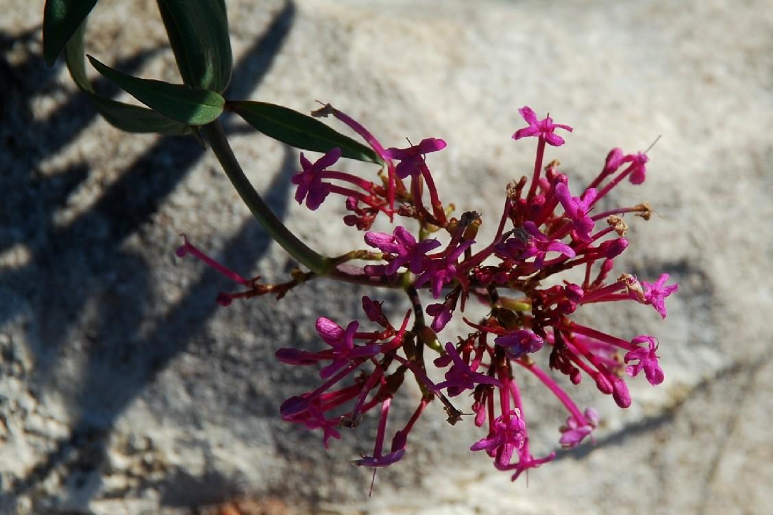Centranthus ruber 10