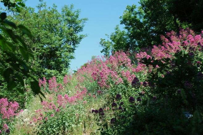 Centranthus ruber  4